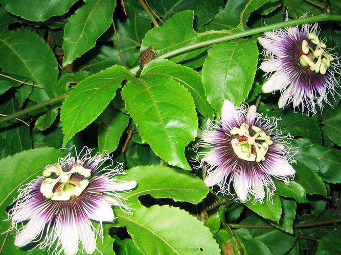 Пассифлора Passiflora 64334502_1285140126_9