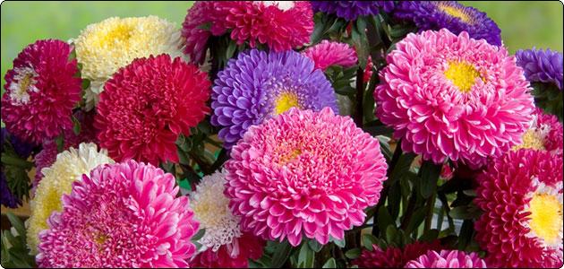 астры игольчатые фото цветов