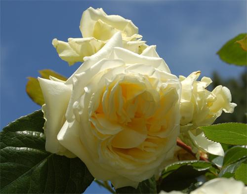 shogun роза фото