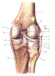 8 Коленный сустав (articulartio genus), правая нога.