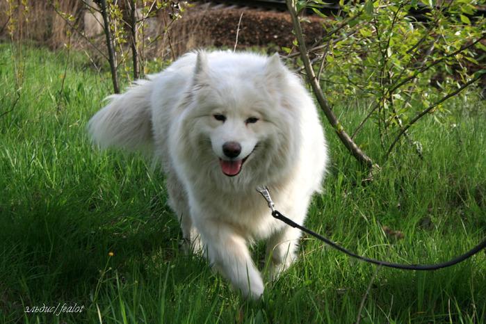 И всем друзьям - фотографии моей собаки Рады, самоедской ездовой лайки и...