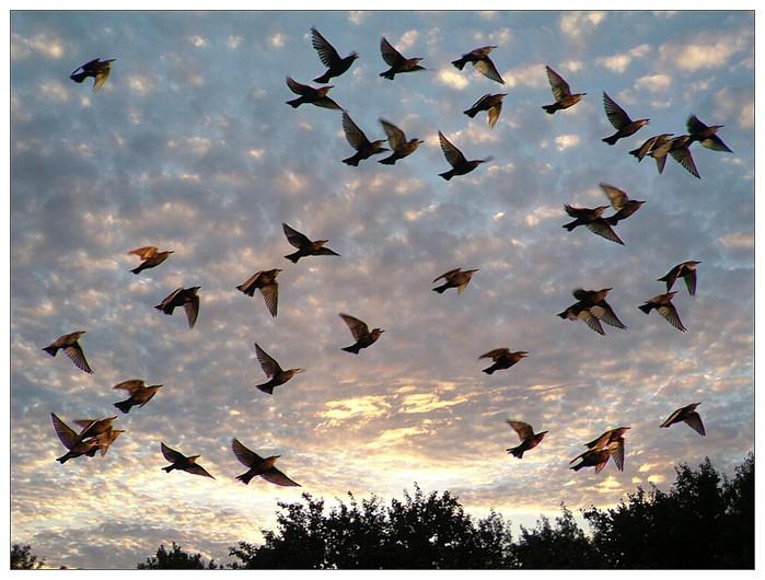 Закатная стая (заход солнца, небо, природа, птицы)