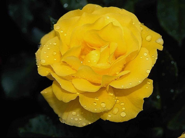 "Flowers Send Flowers Gift Flowers Wedding Flowers "" Blog Archive "" Nice Yellow Rose Flower Picture"