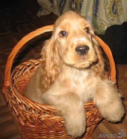Английского кокер-спаниеля щенков предлагает профессиональный питомник.