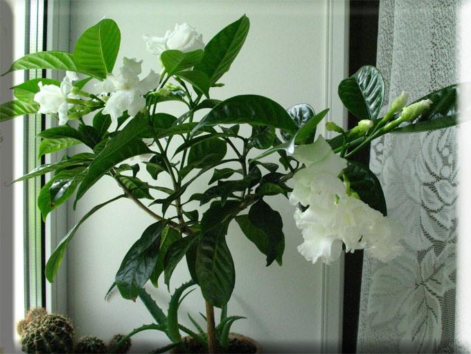 Цветок комнатной гардении