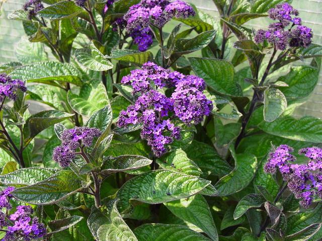 И фото многолетние цветы для дачи