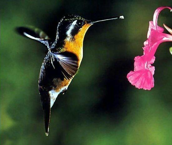 одними из самых красивых птиц.  А красота полета колибри