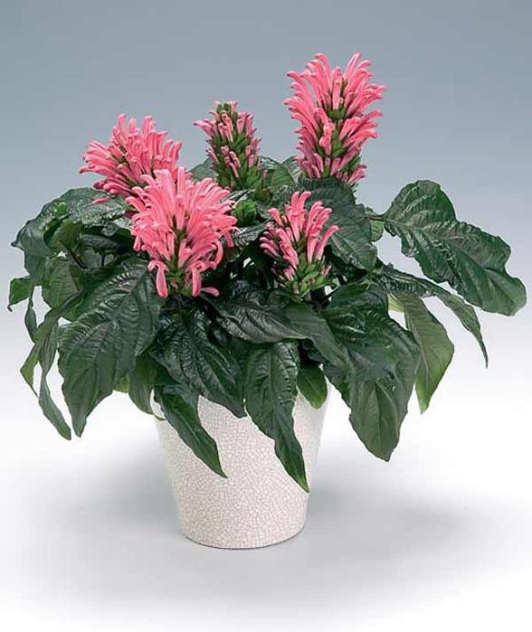 Комнатный цветок якобиния