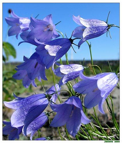 Цветок колокольчик еще в старые времена украшал и дворянские усадьбы, и сельские палисадники.
