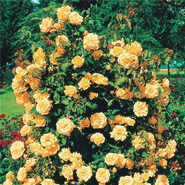 Малиновая плетистая роза 4