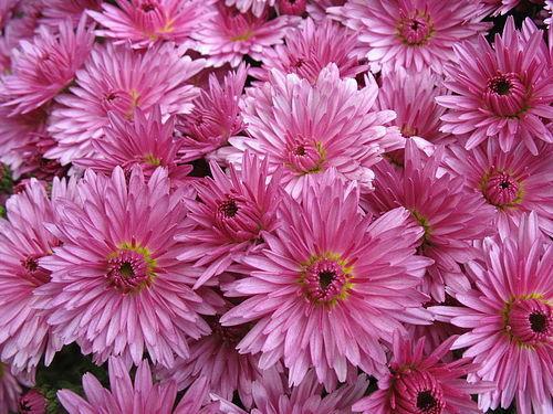 В Японии праздник так и называется - День хризантемы.  Хризантеме в Китае и в.