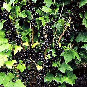 Фаворитами ягодных кустарников в нашей стране являются малина, красная и черная смородина, крыжовник и ежевика.