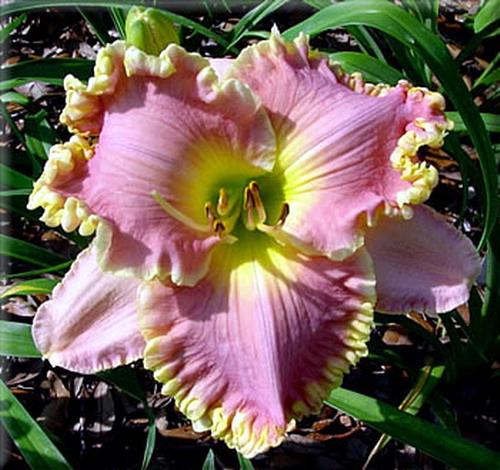 Hemerocallis лилейник или красоднев сорта