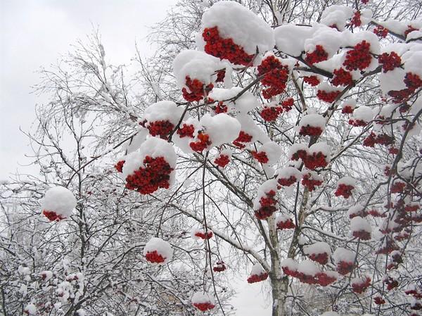 На холсте белоснежном начала Зимы.  Пахнут весною замёрзшие Сны.  Гроздья алой рябины - символ Любви.