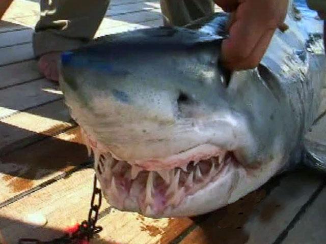 Угроза нападения акул на купающихся в Красном море туристов по-прежнему выс