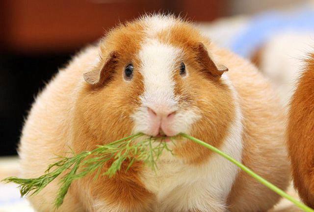 Что любят морские свинки кушать