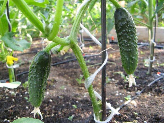 ...другими овощами, а именно своевременный полив, рыхление почвы, подкормки, прополки, а также прищипывание побегов.