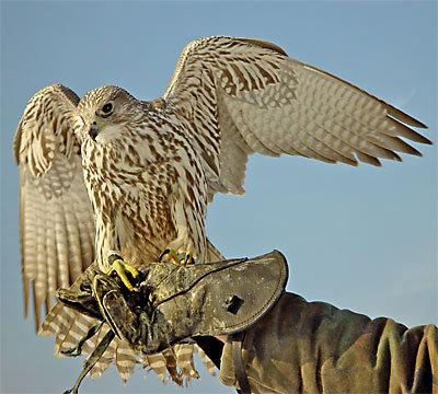 сокол - кречет. кречет - птица из отряда соколообразных семейства...
