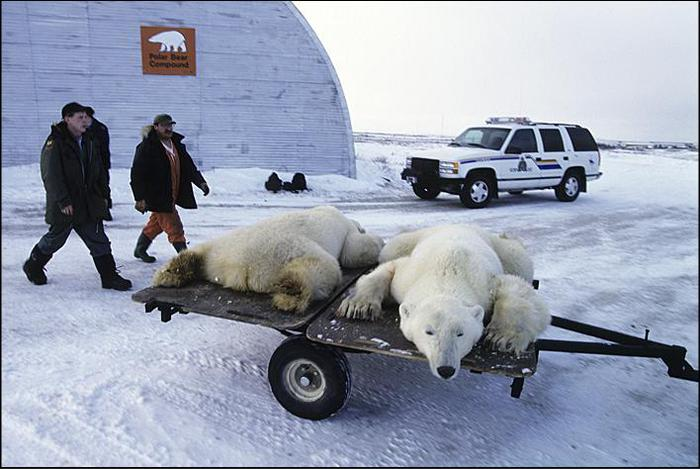 все о белых медведях видео