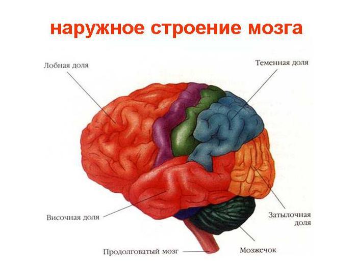 Атлас Мозга Скачать