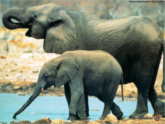 В берлинском зоопарке слоны устроили зрелище с тыквами, которые им преподносят как лакомство.