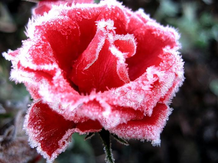 Цветы зима фото, бесплатные фото, обои ...: pictures11.ru/cvety-zima-foto.html
