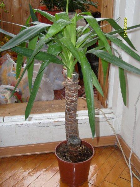 Пальмовидная юкка