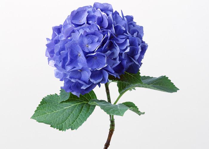 Марка нитей. цветы.  Теги. голубые цветы.  300x294 креста. картина.  DMC, 60 цветов.  2. Гортензия. гортензия.