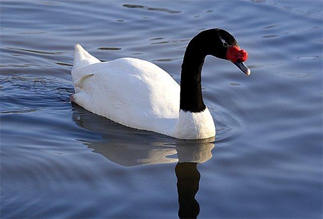Водоплавающая птица.
