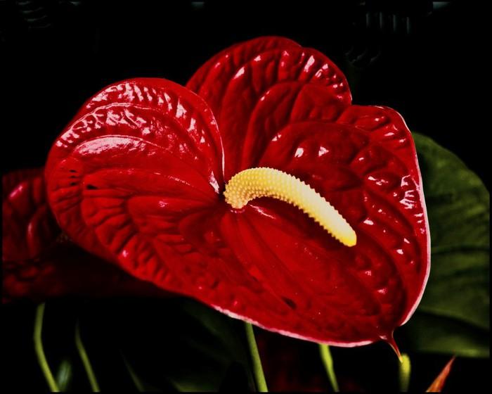 мужское счастье цветок почему чернеют листья