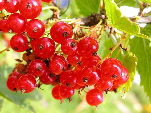 Ягоды красной смородины значительно превосходят черную смородину по количеству витамина А. Сок красной смородины...