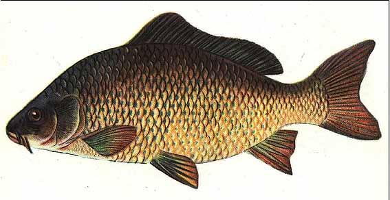 20.00 Грн.  Компания.  Украина.  Рыба пресноводная.  Страна.  Наша компания предлагает: Карп, зарыбок.
