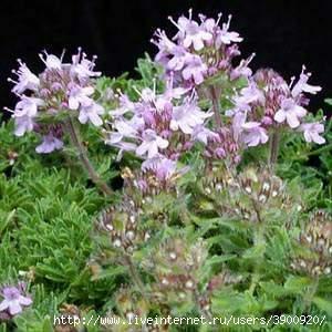 Общие сведения Семейство: губоцветных Labiatae Ботаническое название: Thymus vulgaris Аптечное: трава тимьяна...