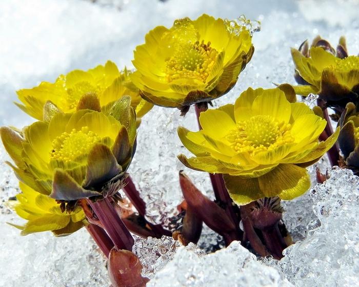 Весенние цветы картинки для детей 6