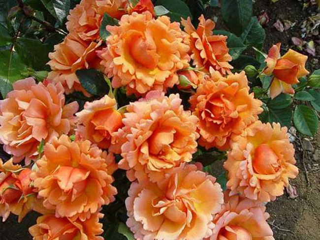 Плетистые розы оранжевого цвета 2