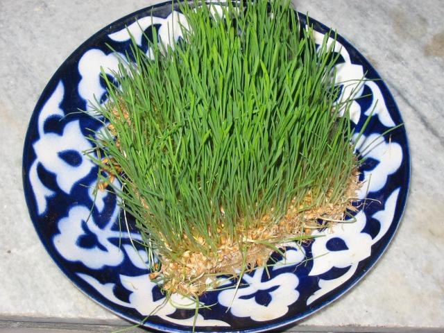 Народная медицина проросшая пшеница