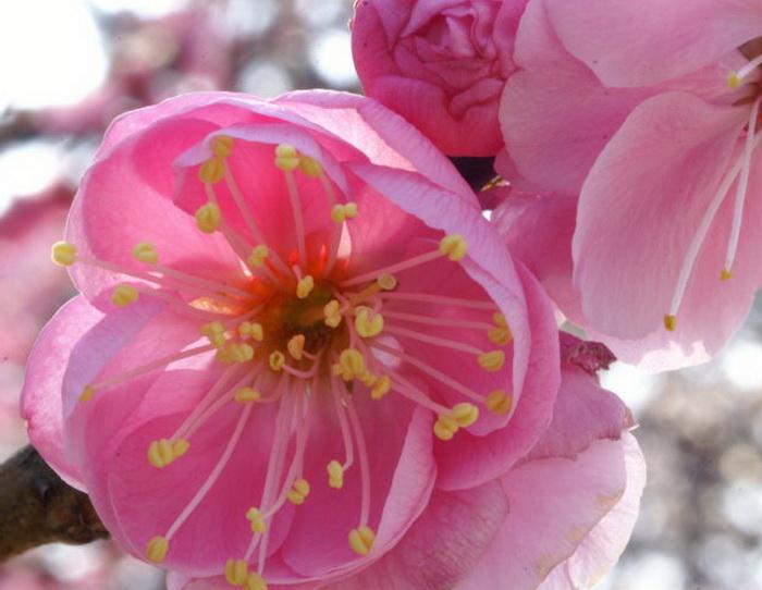 Слива цветы