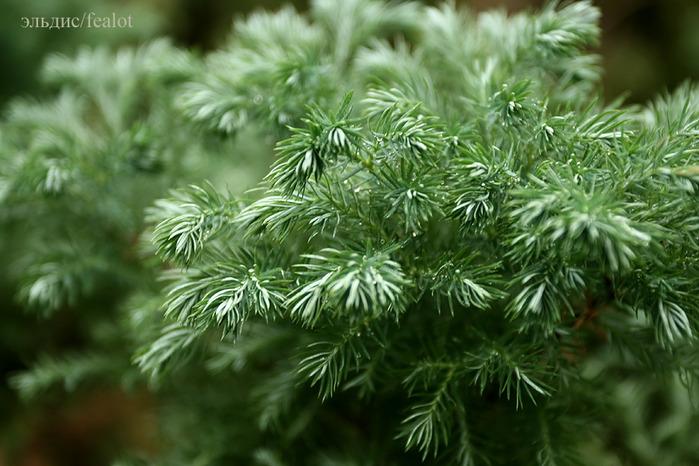 Криптомерия японская Сryptomeria japonica Don