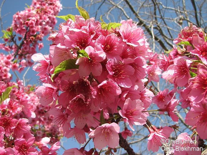 Как называется цветок с красными цветками как лилиями