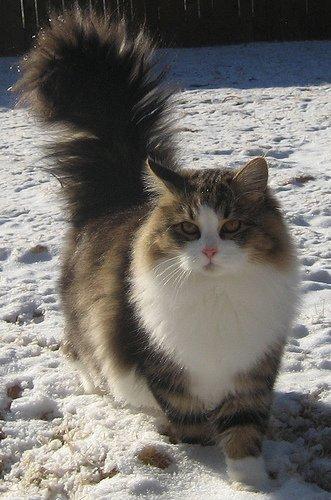 ...на... сибирскую кошку.  Вот ее характерный вид.