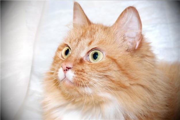 ...породы сибирская кошка зарегистрирована лишь...