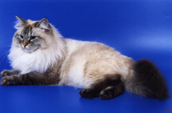 Елизавета Жемчуг Невы, невская маскарадная кошка.