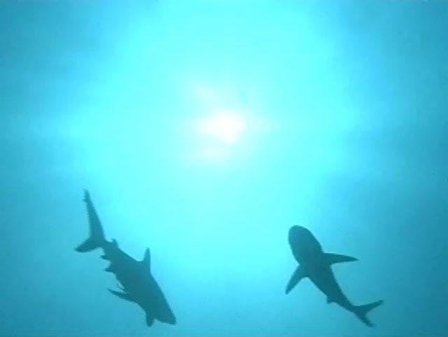 В. поисках акулы-людоеда рыбаки прочёсывают акваторию Красного моря в...