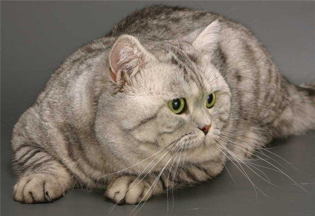 Британская короткошерстная кошка бывает от средних до крупных размеров.