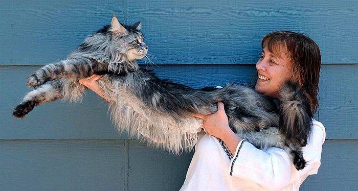 ...Стюи был признан Книгой рекордов Гиннеса самым длинным котом в мире.