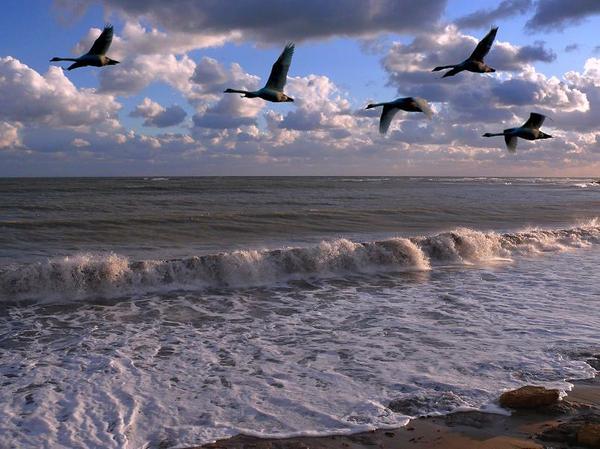 Порядок в строю летящих птиц строго регламентирован.