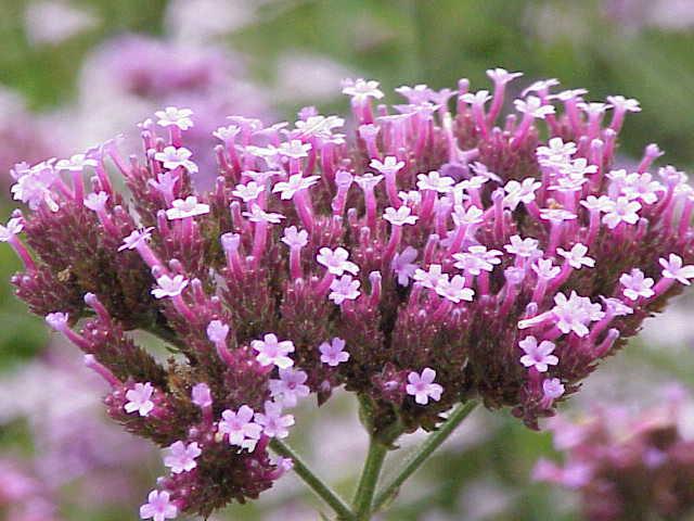 Многолетние цветы названия в фото