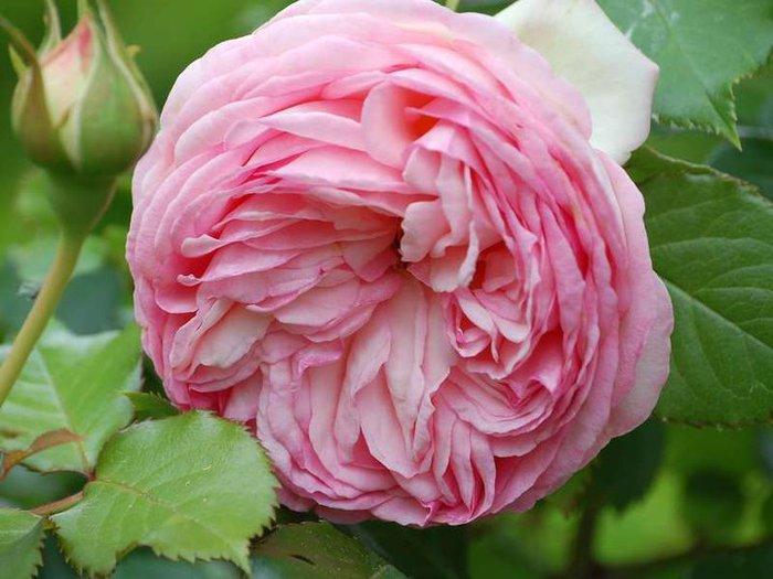 Фото самой дорогой в мире розы