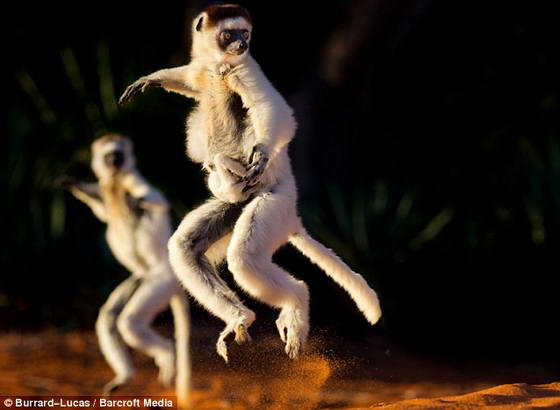 lemurs (560x410, 23Kb)