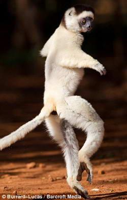 lemurs4 (250x393, 14Kb)